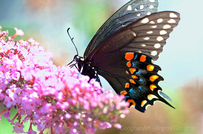 Butterflies Swallowtails