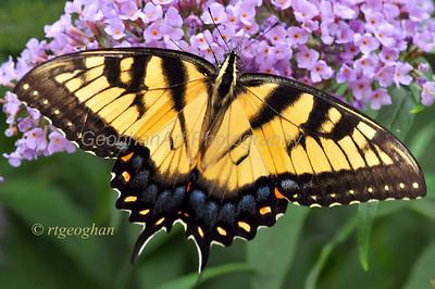 Eastern Tiger Swallowtail Butterlfy