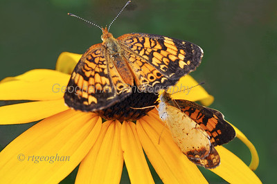 Pearl Crescent Butterflies,