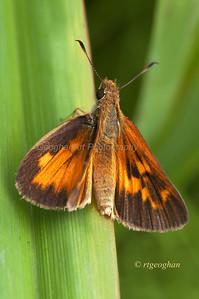 Peck's Skipper Butterfly,