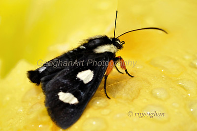 Eight-spotted Forrester Moth