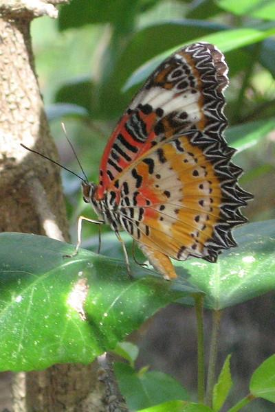 BU 3 Lacewing