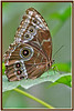 BU 7 Blue Morpho Helenor