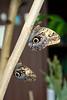 BU 12 Owl Butterflies