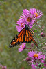 BU 15 Another Monarch Butterfly