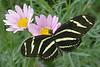 BU 1 Zebra Longwing Heliconius charitonius