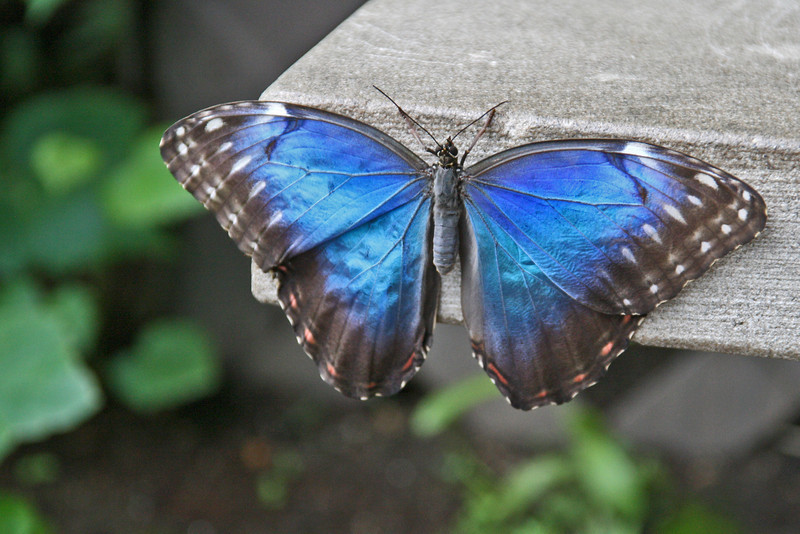 BU 8 Blue Morpho - Open Wings