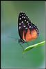 BU 6 Monarch Danaus Plexippus