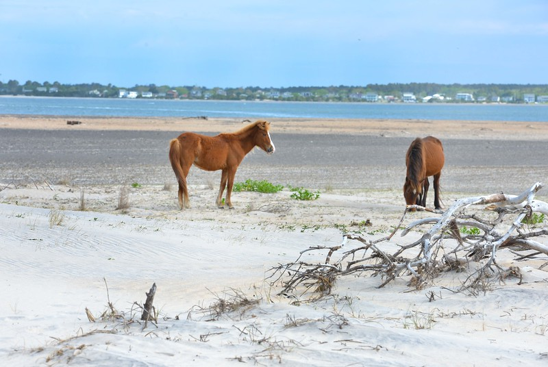 Wild Horses on Shackleford Island (Beaufort, NC)