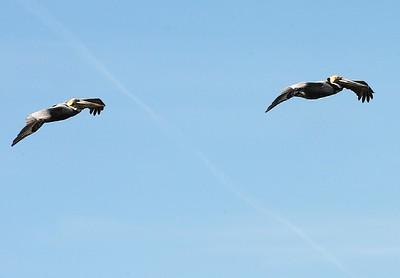 Pelicans Seabrook Island, SC