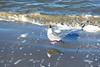 Black-Ring Neck Seagull, Ocean Isle Island, NC