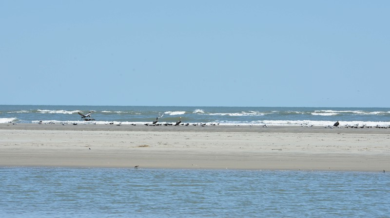 Pelicans and Red Knots, Seabrook Island, SC