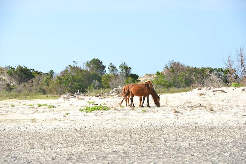 Wild Horses on Shackleford Island (Beaufort, NC)
