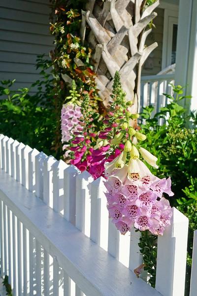 Flowers along Fence, Beaufort, NC