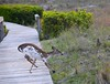 Piebald Deer, Seabrook Island, SC