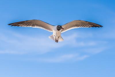 """Soaring Seagull"""