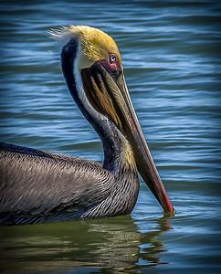 """""""Pelican Portrait"""""""