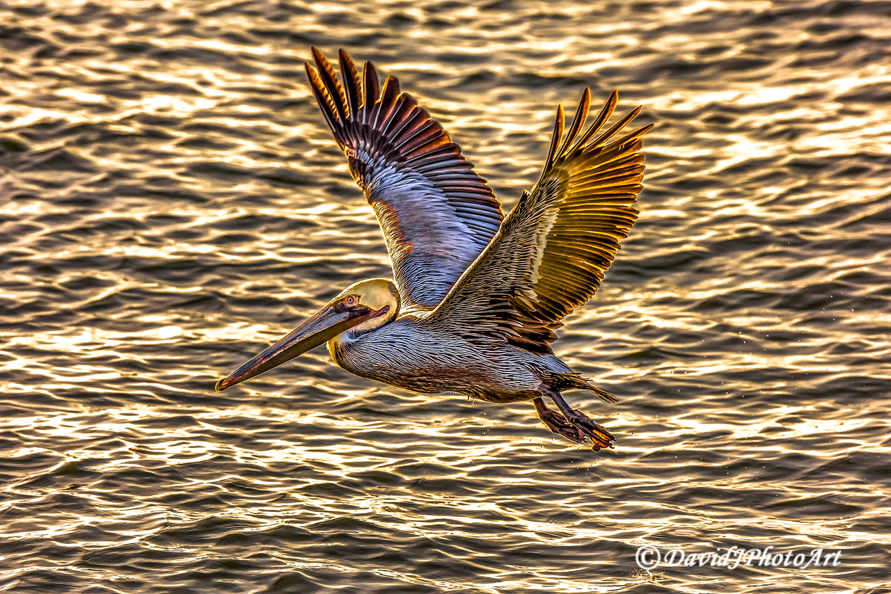 """Golden Pelican Flight"""