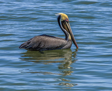 """Brown Pelican Morning Swim"""