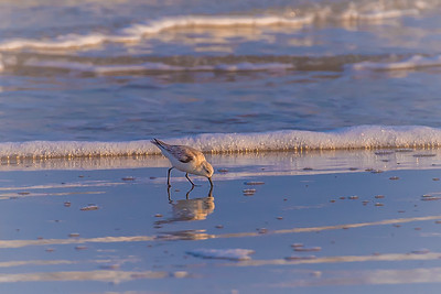 """A Perfect Plover"""