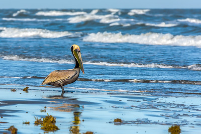 """Seaside Pelican"""