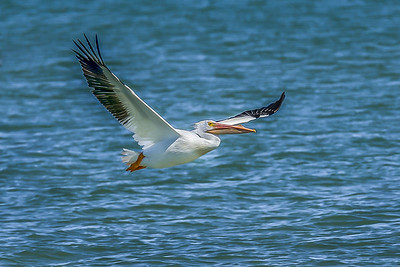 """White Pelican Flght"""