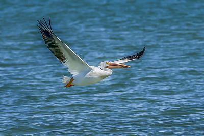 """White Pelican Flght"""