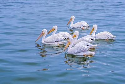 """White Pelican Pool II"""