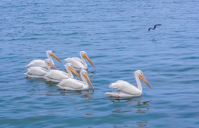 """White Pelican Pool I"""