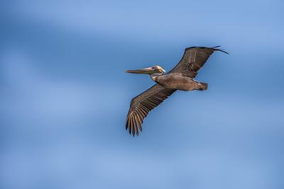 """Pelican Soaring"""