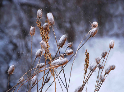 Teasel in Snow 27x20 Horizontal VerySmVer
