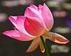 Pink Water Lily 24x30 SmVer