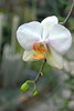 orchid_white_30x20 very sm