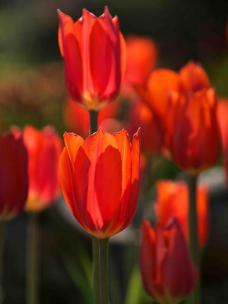 Two Orange Red Tulips 18-24 Vertical Sm.jpg
