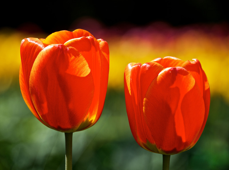 Two Orange Tulips 20-x27 Horizontal.jpg