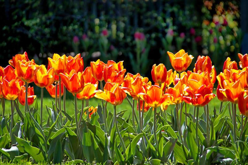 Orange Tulips 20x30 Horizontal SmVer.jpg