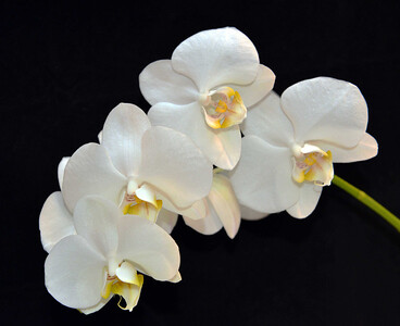 orchid 18 (22x27)verysm