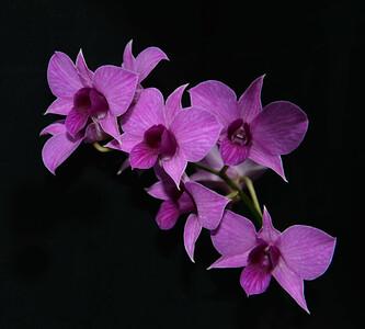 orchid 13 (27x30)verysm