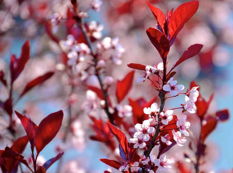 Red Leaves White Blossoms 20x27 Horizontal Sm.jpg