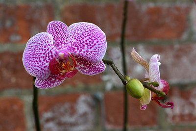 orchids_magenta5_30x20 sm