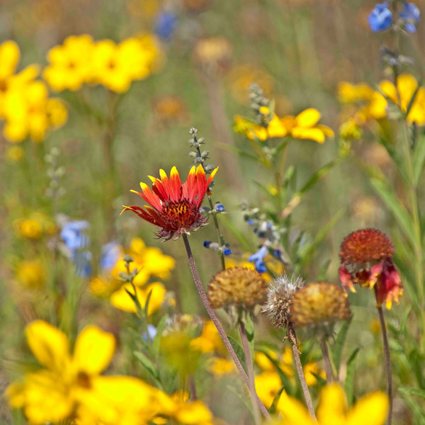 Wildflower Medley Wilds 24x24 Square Sm.jpg