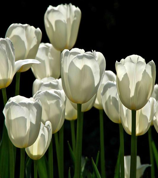 White Tulips 24x27 Vertical SmVer.jpg