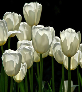 White Tulips 24x27 Vertical SmVer
