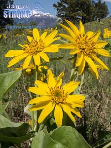 Kimberley-Nature-Park-Balsamroots-4526-4523-Flat-Janice-Strong