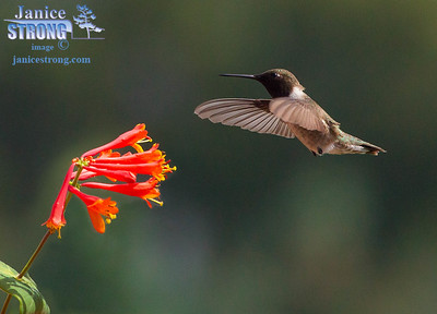 Black-Chinned-Humming-Birds-3294-Janice-Strong