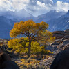 Cottonwood Glory
