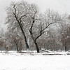 Oak Trees and Snow