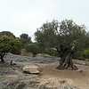 SC 257 Ancient Olive Tree, France