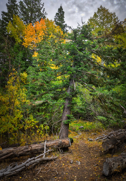 Fall trees along the High Trail in the Carson Iceberg Wilderness