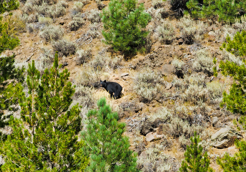 A bear stopping to figure out what we're doing